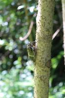 タラの木に留まるクマゼミ