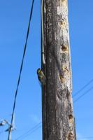 電柱に留まるクマゼミ