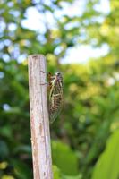 竹の棒に留まるクマゼミ