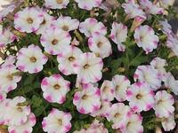 ペチュニア(白とピンクのバイカラ-)の花