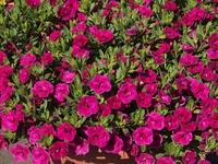 ペチュニア(赤紫)の花