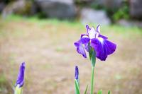 花菖蒲 新緑の風