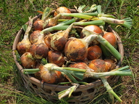 タマネギの収穫