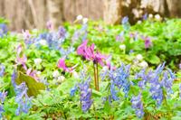 カタクリとエゾエンゴサク《北海道の早春の森》旭川市男山自然公園