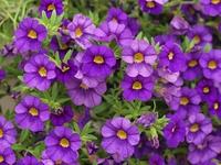 紫色のペチュニアの花