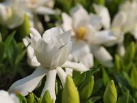八重咲きのクチナシの花