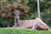 カオヤイ国立公園の野生の鹿