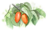 実がなっている柿の木