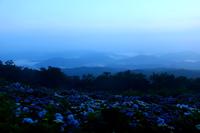 朝霧と紫陽花