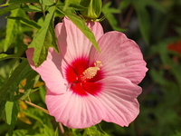 ピンクのアメリカフヨウの花