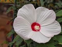 白いアメリカフヨウの花