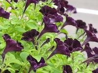紫色のペチュニア