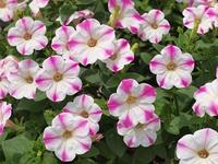 白とピンク バイカラ-のペチュニア