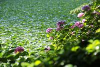 公園の池のそばの紫陽花の花