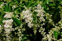 セイヨウイボタの花