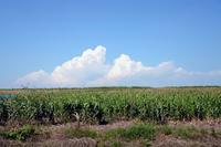 トウモロコシ畑と夏雲
