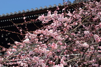 京都 梅宮大社の梅