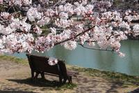 京都 宇治川 桜とベンチ