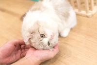 甘えるペルシャ猫