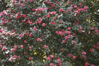 椿の花たち
