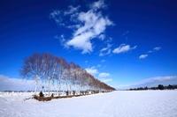 真冬の白樺並木