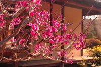 京都 城南宮 紅梅