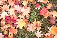 秋素材 足下の紅葉