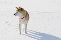 雪の中の柴犬