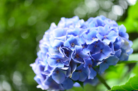 王子飛鳥山の紫陽花