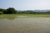 田植えが済んだ水田