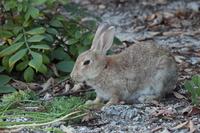 広島 大久野島の野ウサギ