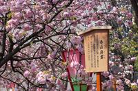 大阪 造幣局の桜の通り抜け
