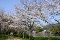 京都 大沢池の桜