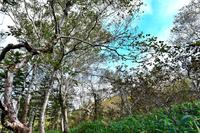 羅臼湖歩道のダケカンバ林
