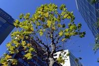 ポプラの樹と高層ビル