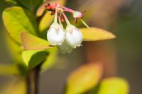 《接写》ブルーベリーの花