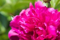 《接写》ボタンの花