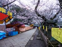 上野東照宮 桜