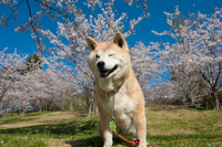 桜の前の柴犬