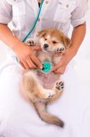 聴診器を当てられる子犬