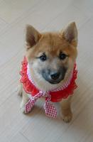 赤い服を着た子犬
