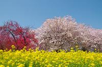 菜の花畑と満開の八重桜