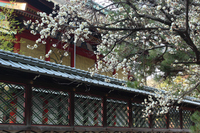 京都 御香宮神社の白梅