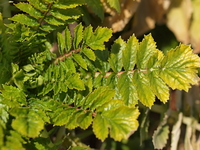 冬ダイコンの葉