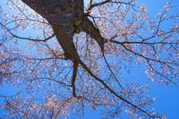 《春》桜を見上げる