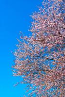 《春》青空と満開の桜