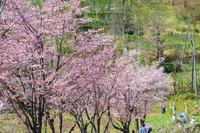 《春》花見の公園