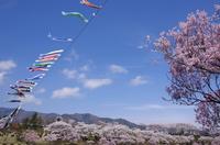 満開の桜と鯉のぼり