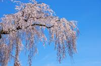 身延山 満開の枝垂桜