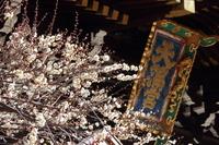 京都 北野天満宮 白梅